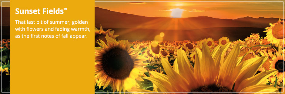 Sunset Fields Candles: That last bit of summer, golden with flowers and fading warmth, as the first notes of fall appear